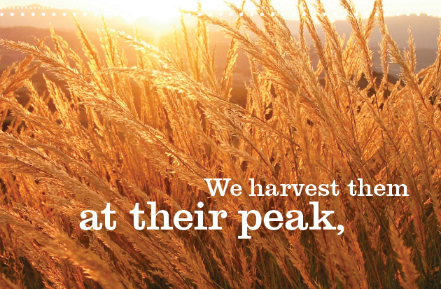 We harvest them at their peak,